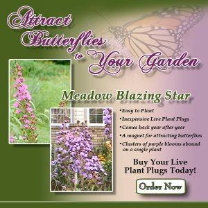 perennial native wildflower